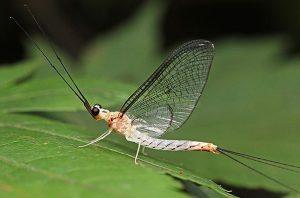 昆虫類の翅の起源を発生学的に解明(町田龍一郎 教授)