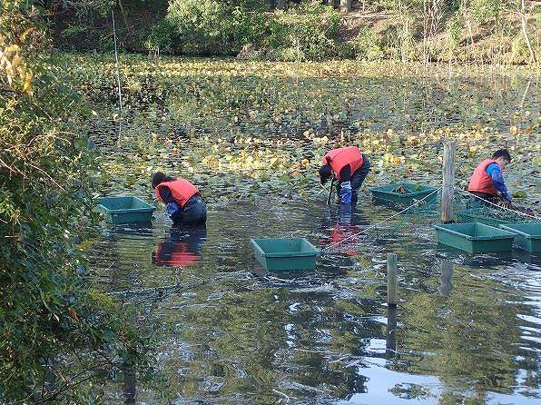 10月15~29日 筑波実験林 兵太郎池でスイレン刈りを実施