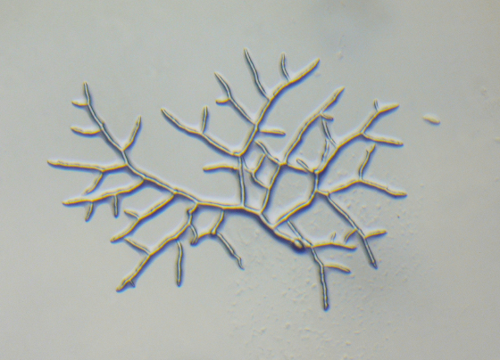 ヒゲカビPhycomyces nitens 胞子発芽