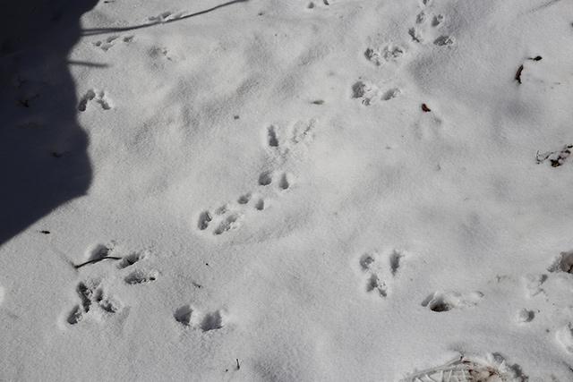 リスの足跡。活発に活動している様子がわかります