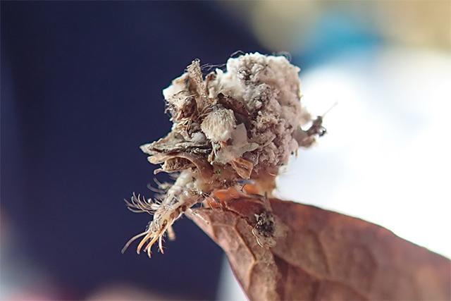 クサカゲロウ科の幼虫(写真 岩下伸也/菅平ナチュラリストの会)
