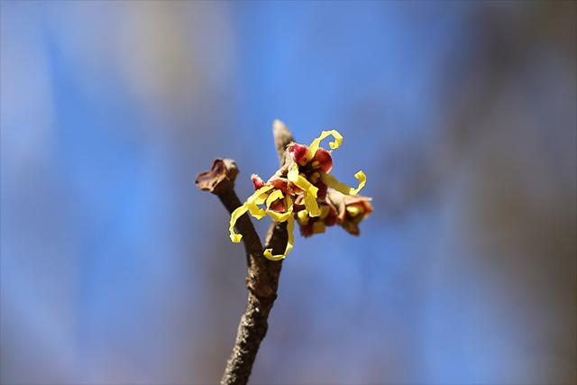 マンサク。決して派手な花ではありませんが、周囲が閑散としているこの時期はよく目立ちます