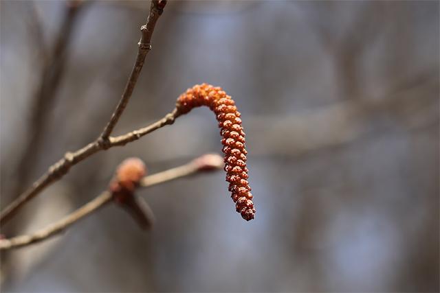ツノハシバミの雄花