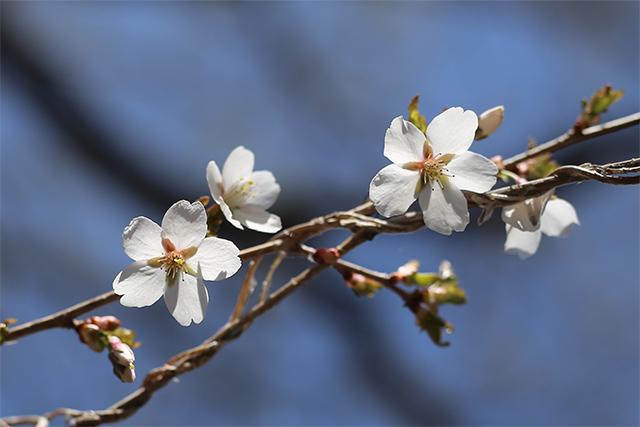 マメザクラ。花も葉もソメイヨシノより小ぶりです