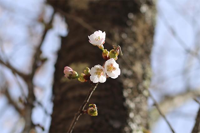 タカネザクラ(ミネザクラ)も咲き始めました