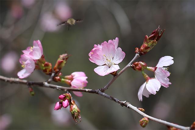 オオヤマザクラ。ピンク色が濃く、大ぶりです