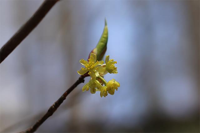 シロモジ(雄株)。普段は目立たない木ですが、この日は満開で遠目からでもよくわかりました