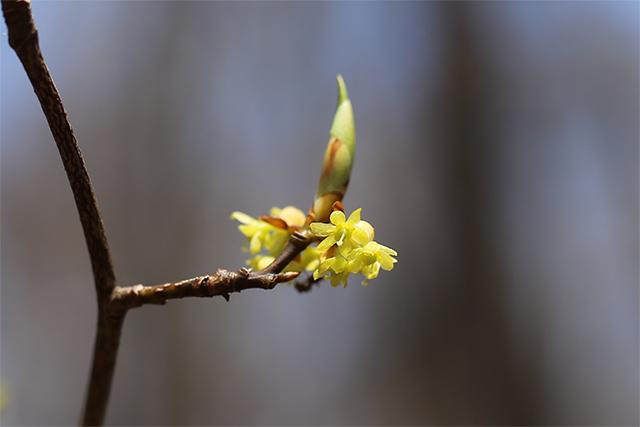 こちらはシロモジの雌株です。先ほどの雄花との違いがわかりますか?