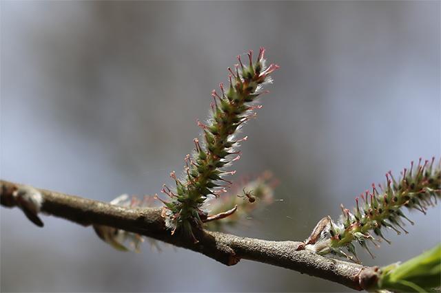 オノエヤナギ(雌株)