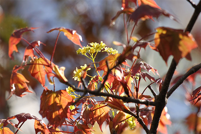 イタヤカエデ。赤みを帯びた若葉のなかに花序がありました
