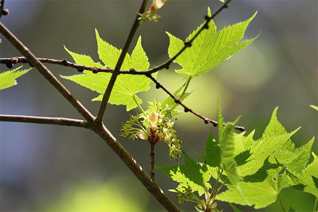 アサノハカエデの花はそろそろ終わりです。雌雄別株でこちらは雄花