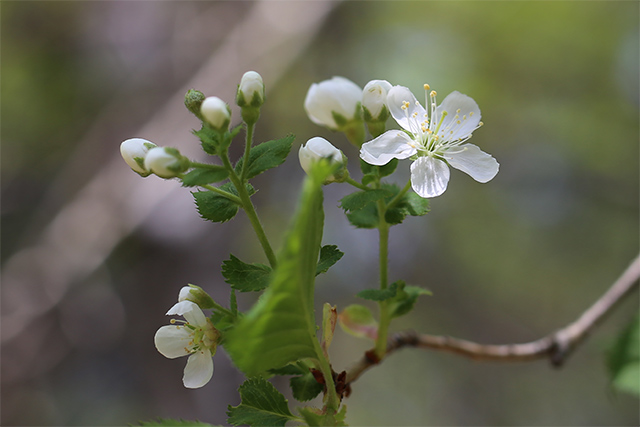 ミヤマザクラ。サクラのなかでは遅い時期に咲き始めます