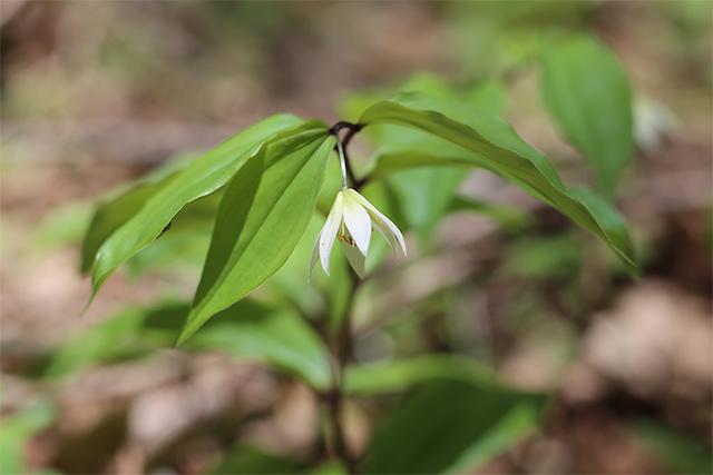 チゴユリ。林のなかにひっそりと咲いていました