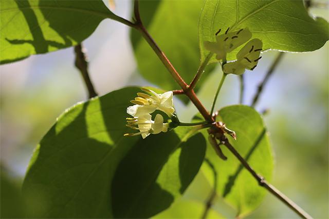 オニヒョウタンボク。分布が限られている珍しい樹木です