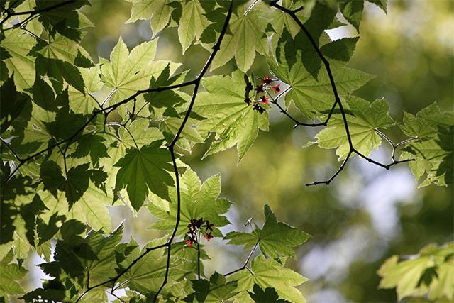 ハウチワカエデ。新緑に花弁の濃い赤が目立ちます