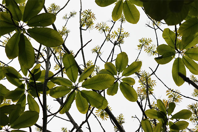 ホオノキの若葉と、展開中のヤチダモ。柄物生地のような光景