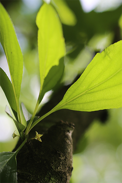 とても小さなクロウメモドキの花。直径4mmほど