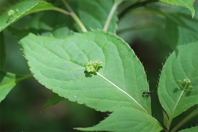 ハナイカダ。葉の真ん中に花をつける、なかなかの変わり者