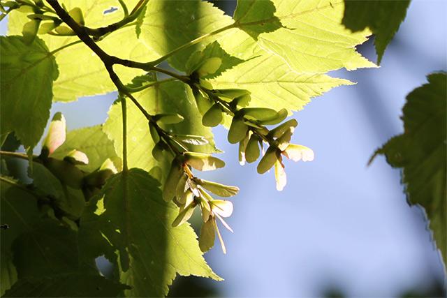 ウリハダカエデ。一か月前に咲いていた雌花が、もう果実らしくなってきました