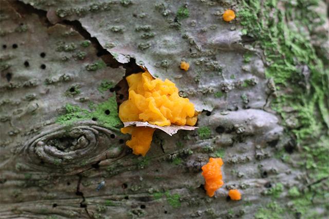 シラビソから鮮やかな黄色の菌類がはえていました。白水貴助教(三重大学大学院生物資源学研究科)によると、「アカキクラゲの一種(おそらくハナビラダクリオキン Dacrymyces chrysospermus)」ではないかとこと